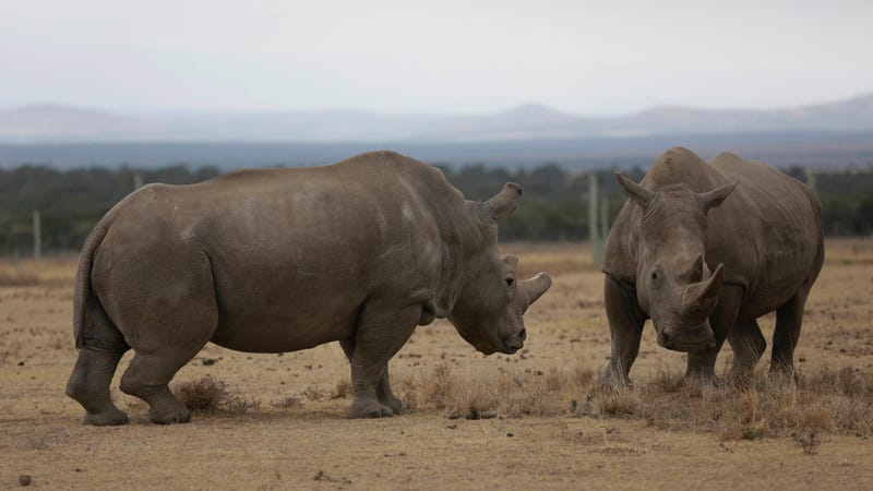 The only two living northern white rhinos left in the world, Fatu (left) and Najin (right).