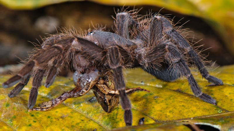 A tarantula preying on a Bolivian bleating frog (Hamptophryne boliviana).
