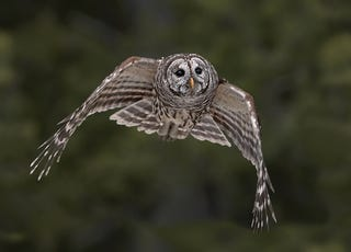 Illustration for article titled How owls developed stealth technology