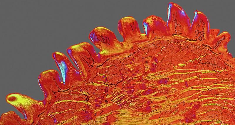 Illustration for article titled Una lengua de gato al microscopio y otras increíbles fotos de ciencia