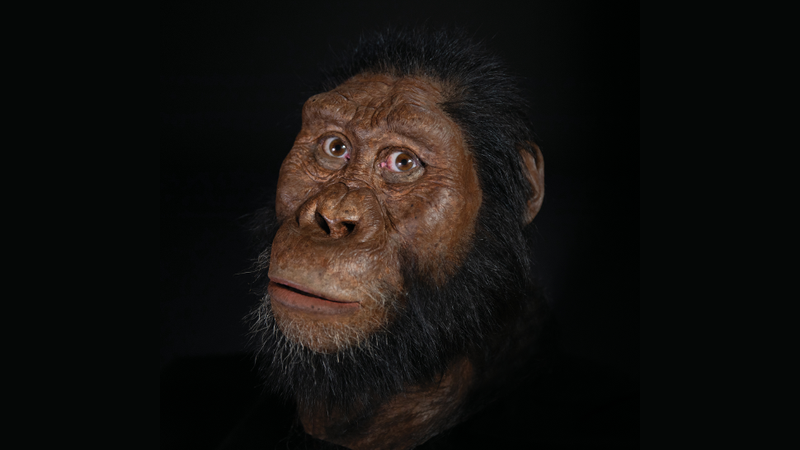 Artist's reconstruction of A. anamensis, based on the discovery of a nearly complete skull and jawbone.