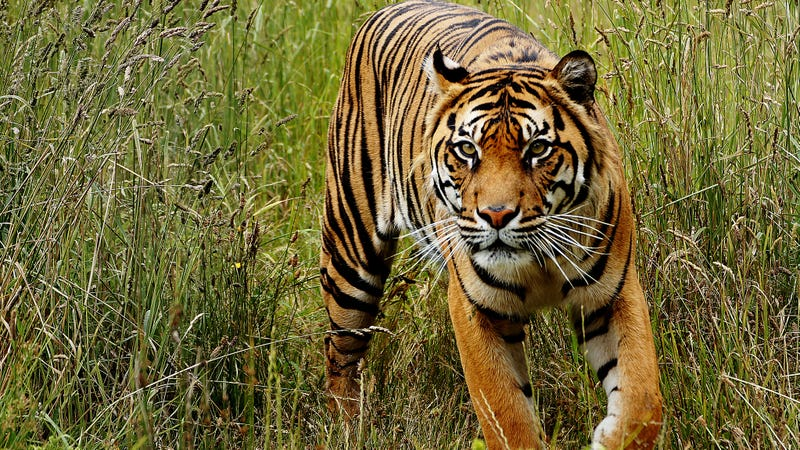 A Sumatran tiger (Panthera tigris sondaica), the smallest and most genetically distinct of the six tiger subspecies identified in this study