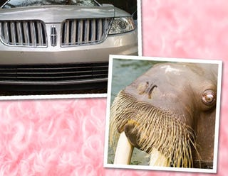 Illustration for article titled Vanity Fair Compares Lincoln MKS To Cunnilingus-Mouthed Walrus