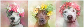 Illustration for article titled Dogs With Flower Crowns Promote Pit Bull Adoption