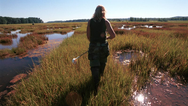 A mosquito expert searched the swamp in New Hampshire in July 2000 for mosquitoes that could carry West Nile.