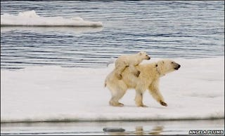 Illustration for article titled The Bears Of Svalbard Have Started Giving Out Piggyback Rides