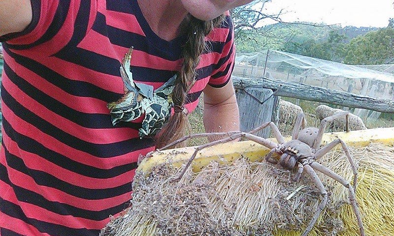 Illustration for article titled Liberan una gigantesca araña Huntsman tras rescatarla de un domicilio particular en Australia