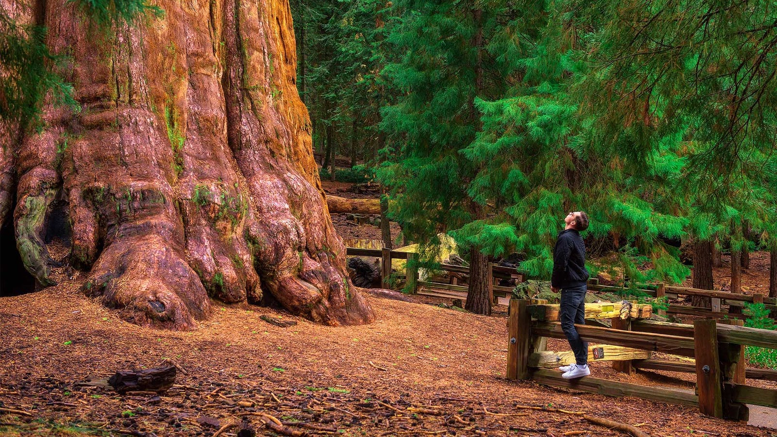 Man Guessing He's Stared At Giant Sequoia Long Enough To Appreciate It
