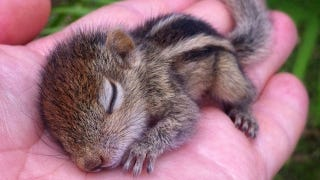 Illustration for article titled Look at This Adorable Baby Squirrel and Squee Your Head Off