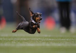 Illustration for article titled The Browns Will Hold A Wiener Dog Race