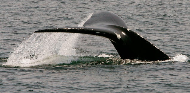 Everything Is Going Wrong for North Atlantic Right Whales This Year