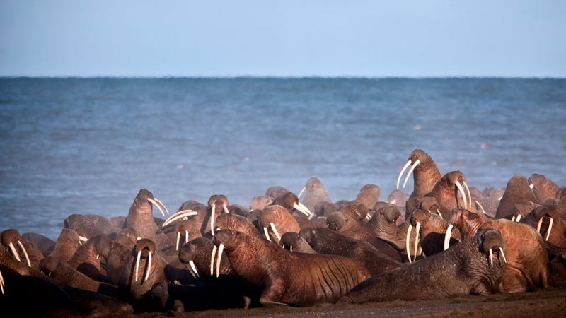 Walruses gather to rest on the shores of the Chukchi Sea near the coastal village of Point Lay, Alaska in 2013. Photo: Ryan Kingsbery/USGS via AP