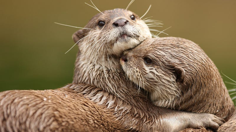 Illustration for article titled Pollution Might Shrink Your Penis, Say Otters