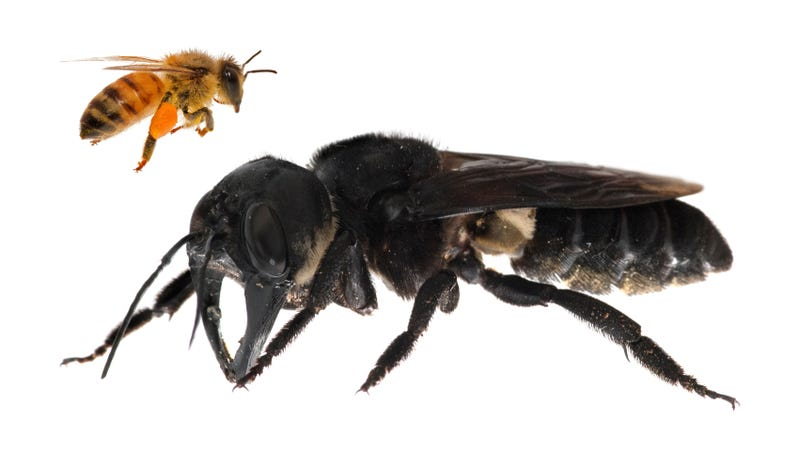 Illustration for article titled The World's Biggest Bee Just Buzzed Into My Heart