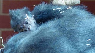 Illustration for article titled A baby gorilla has just been born at the Twycross Zoo in the UK!