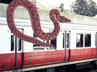 Illustration for article titled Boston Boa Constrictor Found After Monthlong Subway Ride