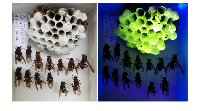 Wasps Are Building Fluorescent Nests, but Why?
