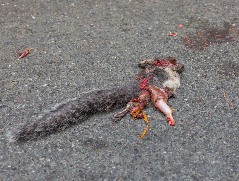 Illustration for article titled Whatever Crushed Squirrel Must Have Been Pretty Heavy