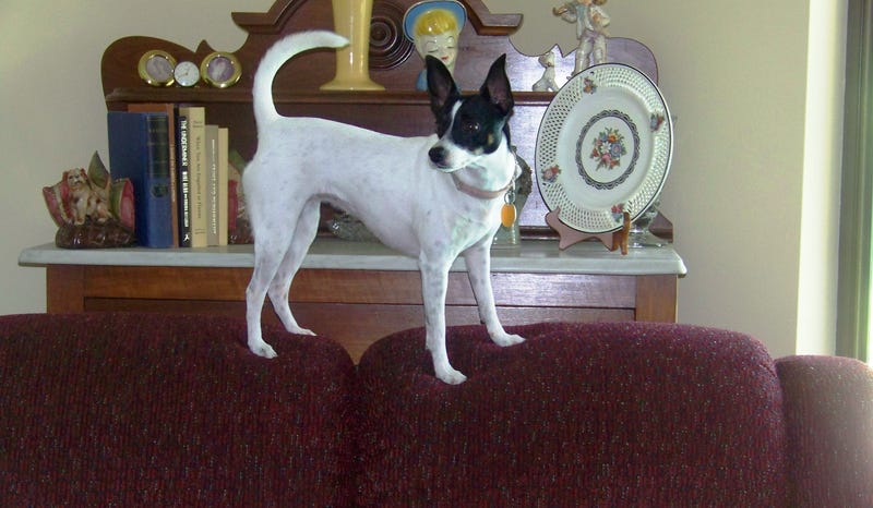 Illustration for article titled Rat Terrier Contest!