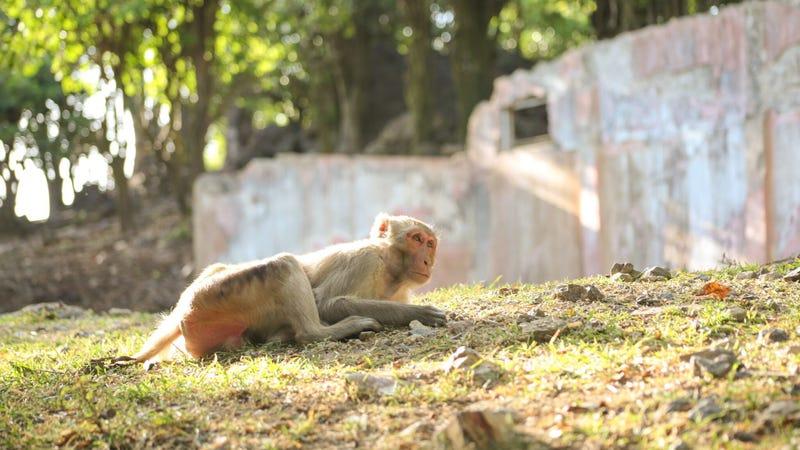 A rhesus monkey on Puerto Rico's Monkey Island. Courtesy of Alyssa Arre.