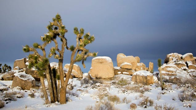 Be Soothed by the Peaceful Joshua Trees Covered in Snow