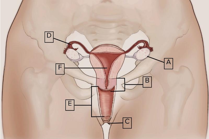 Studie findet nur die Hälfte der britischen Frauen kann eine Vagina ...
