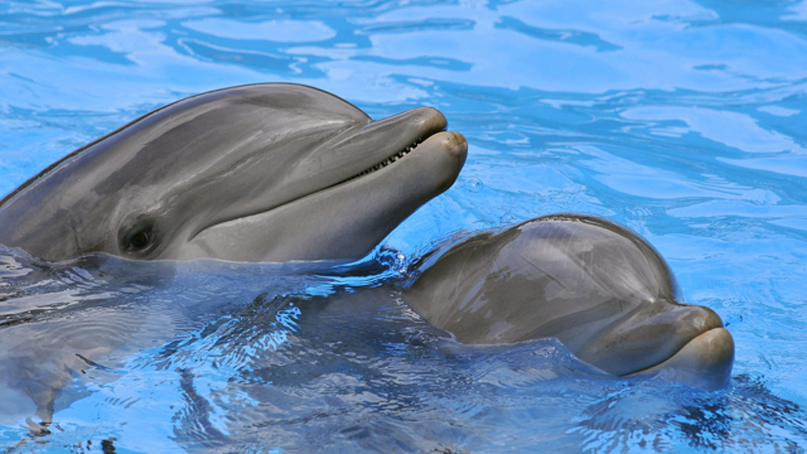 Who is smarter: a dolphin or a man