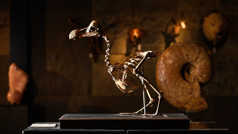 A near-complete skeleton of a dodo bird sold for $430,000 at auction. (Image: Getty)