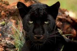"Illustration for article titled Scientists Do a Simple Camera Hack And Reveal ""Black"" Leopards' Spots"