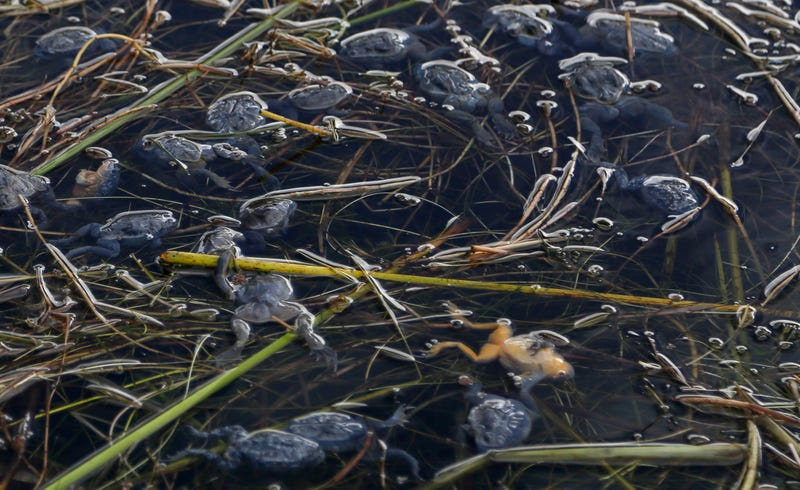 10k endangered 'scrotum frogs' die in Peru