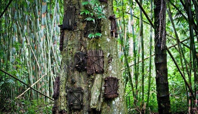 Illustration for article titled Bienvenidos a Toraja, el lugar donde entierran a los niños en el interior de los árboles