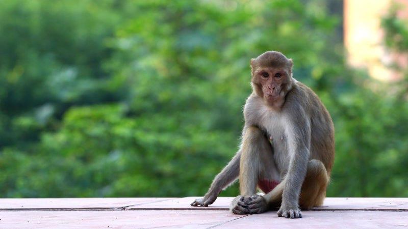 Un macaco Rhesus sentado en los alrededores del Taj Mahal.