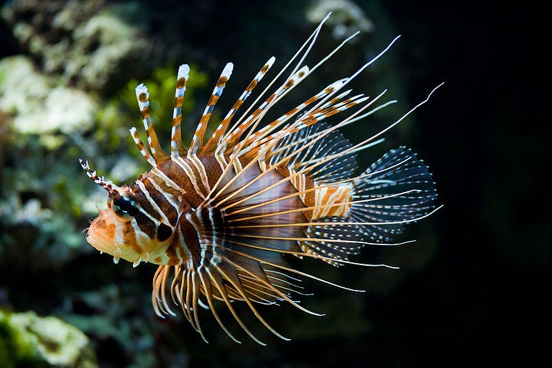 Illustration for article titled Hunting Lionfish Makes Them Harder To Hunt, Surprising Nobody