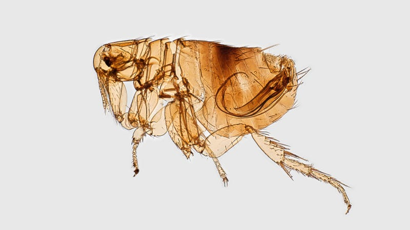 The Oriental rat flea, or Xenopsylla cheopis, can spread typhus through its poop.