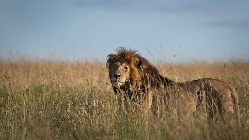 Illustration for article titled Zimbabwe Claims More Than One Asshole American Poached Lion