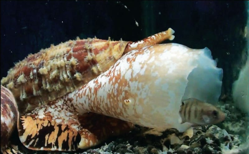 A cone snail hunting fish. (Image: Baldomero Olivera)
