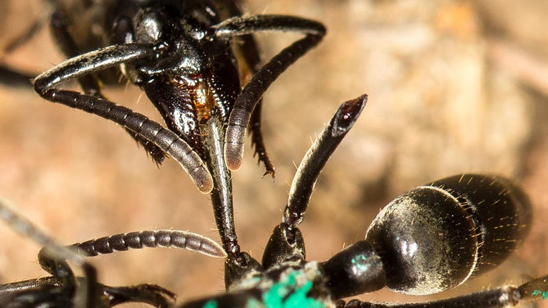 A Matabele ant treats a wounded comrade whose limbs were bitten off during a fight with termite soldiers. (Image: Erik T. Frank)