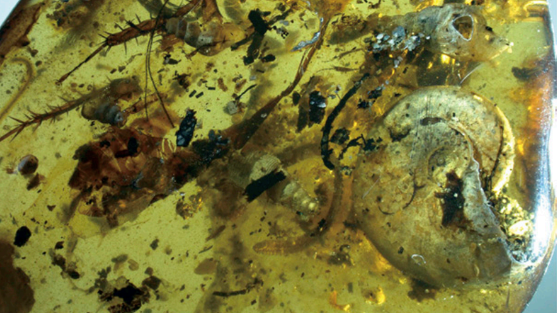 The ammonite and bugs trapped in the amber.