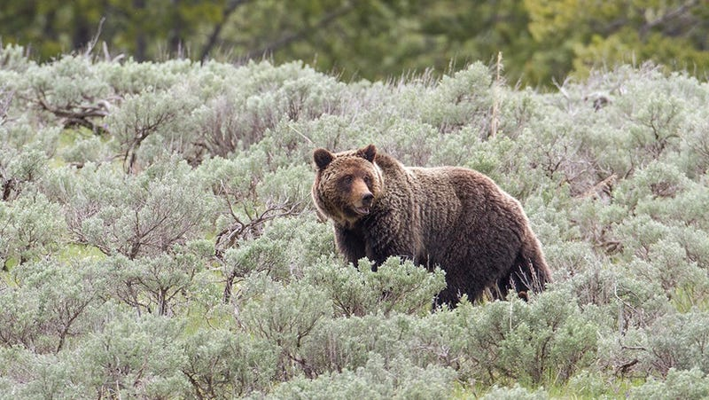 Illustration for article titled Idaho Wants to Allow the Hunting of a Single Grizzly Bear