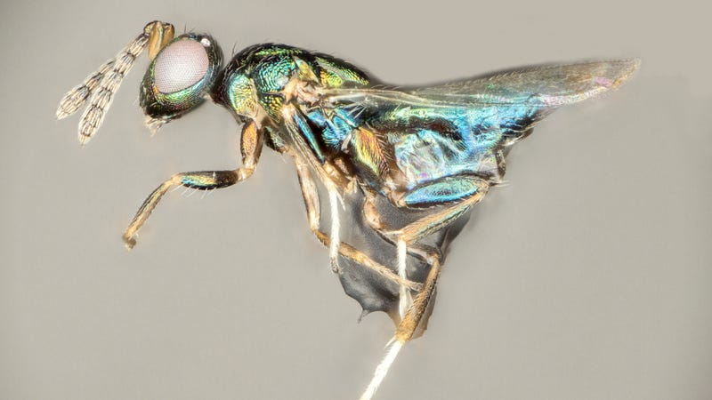 "The diabolical ""crypt-keeper wasp,"" or Euderus set. (Credit: Andrew Forbes/University of Iowa)"