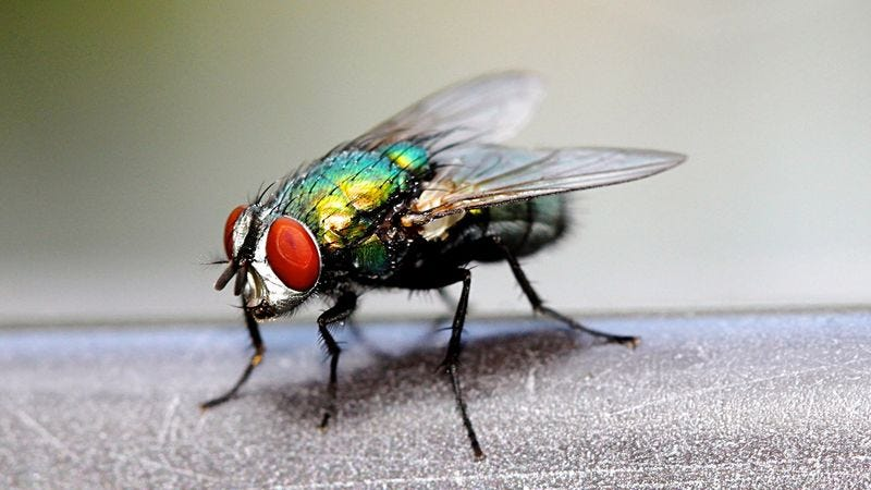 Illustration for article titled Housefly Fondly Recalls Losing Virginity On Rotting Pile Of Ground Beef