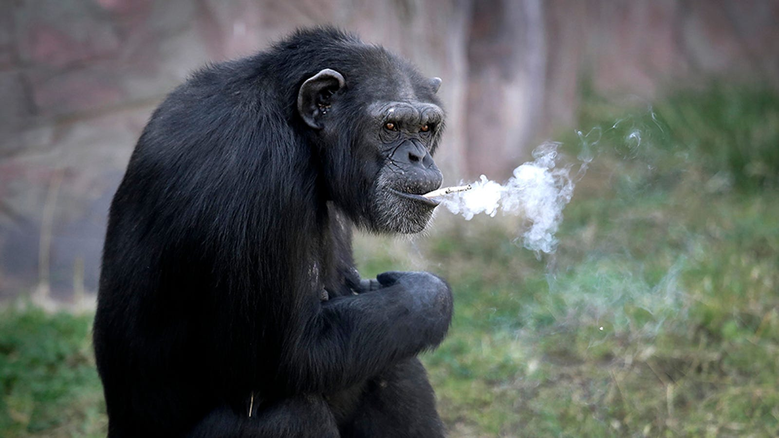 North Korea's Zoo Chimp Smokes a Pack a Day Because Life Is