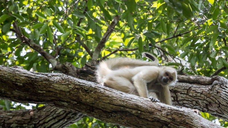 Illustration for article titled Ghost Monkeys Foretell Rainforest Destruction (Yes, Really)