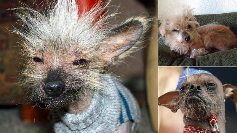 Illustration for article titled Which of These Ugly Dogs Will Win the Ugly Dog Beauty Contest?