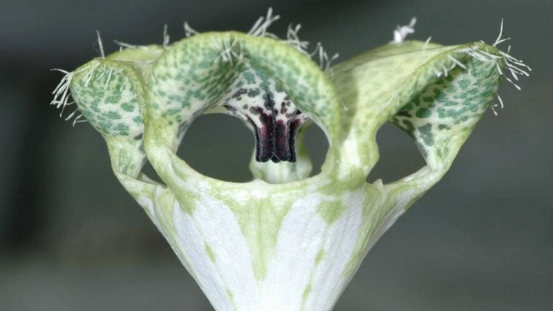 The Giant Ceropegia smells like a bee under attack, which flies find irresistible. (Image: Gernot Kunz)
