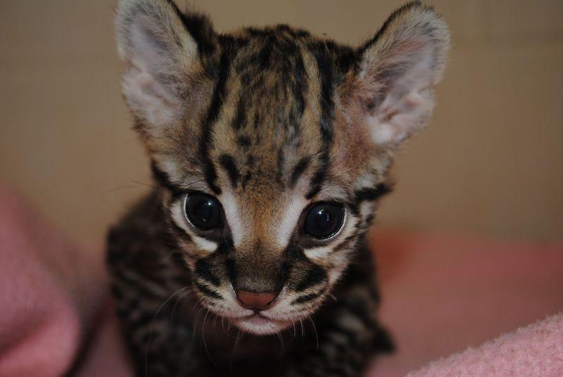 Illustration for article titled Important Developments in Cuteness: Ocelot Kitten