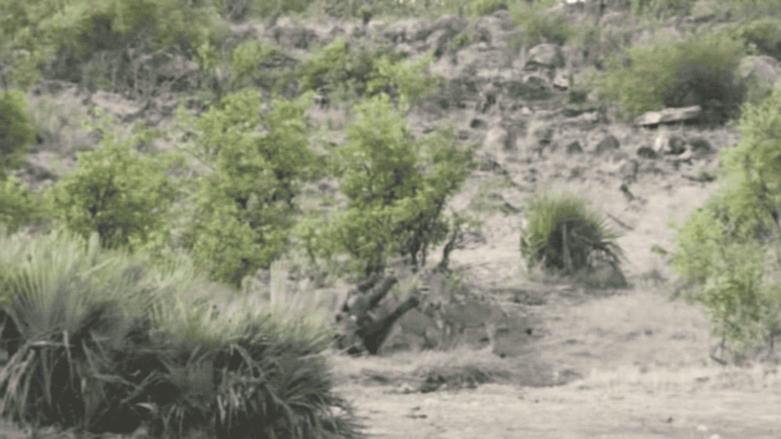 El dramático momento en el que unos búfalos ahuyentan a una manada de leones para salvar a un bebé elefante