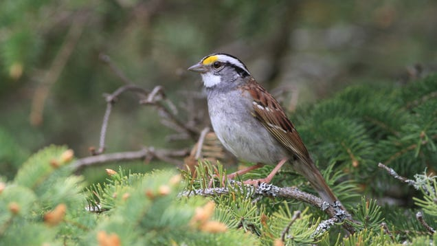 A 'Viral' New Bird Song in Canada Is Causing Sparrows to Change Their Tune