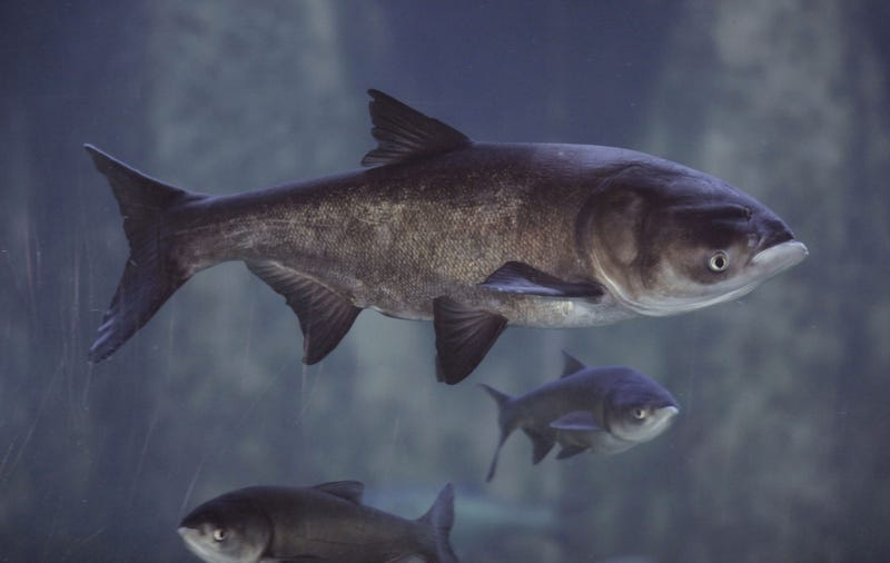 Asian Big Head Carp swim in an exhibit, January, 2010, in Chicago. (AP Photo/M. Spencer Green)