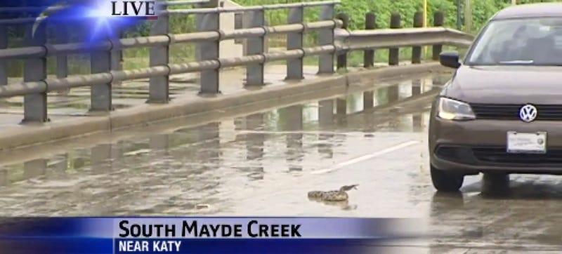 Illustration for article titled Snake Attacks Cars During Flood, Car Attacks And Kills Snake On Live TV